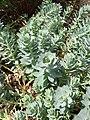 Malpighiales - Euphorbia myrsinites - 2.jpg