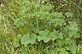 Malva sylvestris blangy-tronville 80 07062007 1.jpg