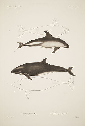 Dusky dolphin - Dusky dolphin drawings in Plate 5 of Mammalogy section in Mammalogy and Ornithology (1858)