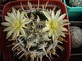 Mammillaria duwei-Shostak.JPG