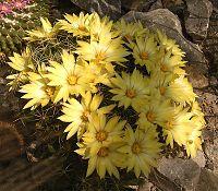 Mammillaria longimamma