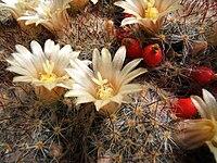Mammillaria prolifera145108652.jpg