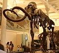 Mammuthus jeffersonii.jpg