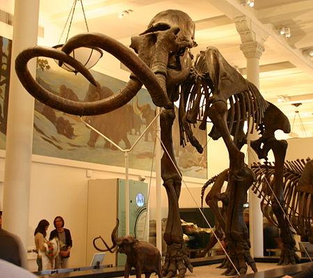 هيكل عظمي في متحف، له أنيابٌ معقوفة تتقاطع عند المُقدمة