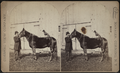 Man and the horse with a dog on its back, by Corning View Company.png