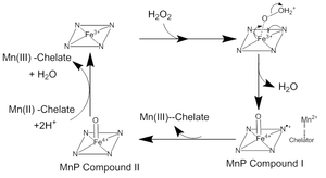 Manganese peroxidase - Sketch of manganese peroxidase mechanism showing the initial state, iron peroxide complex, and Compounds I and II. Here, the heme cofactor is represented via an iron-nitrogen complex. It should be noted that the Fe(IV) oxo-porphyrin radical resonates throughout the heme.