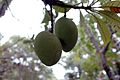 Mangifera andamanica-fruits-BSI-yercaud-salem-India.jpg