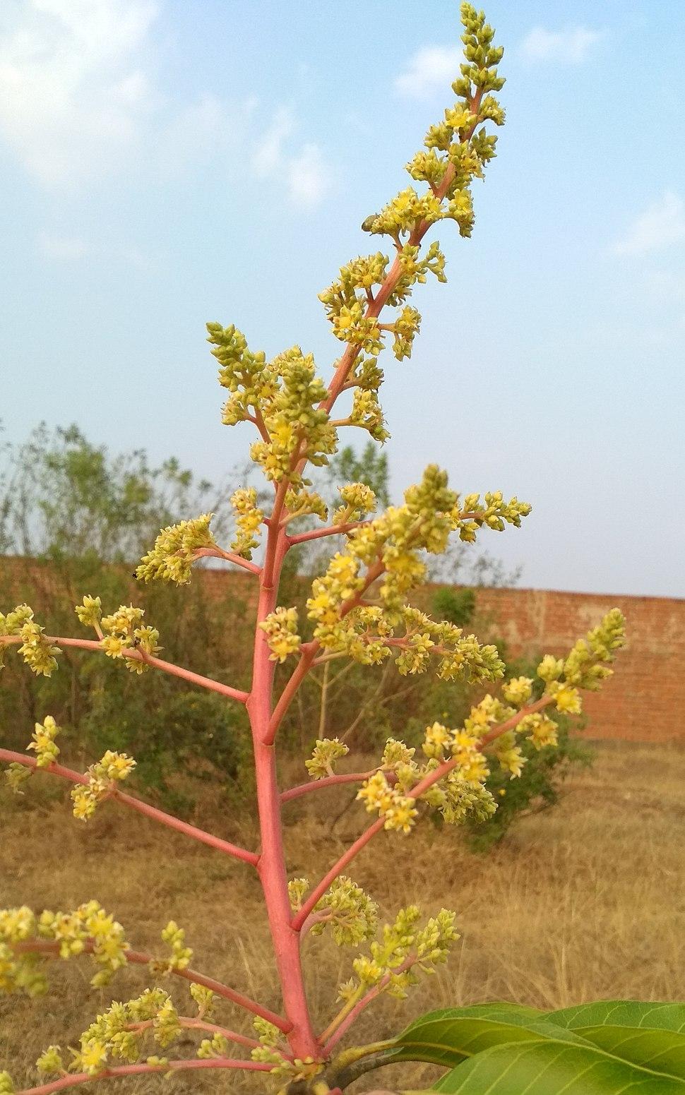 Mango flower blossom