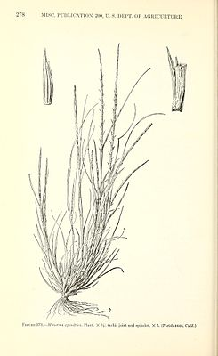 Manual of the grasses of the United States (Page 278) BHL42020917.jpg