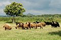 Manx and Hebridean Sheep at Sharpham Park.jpg