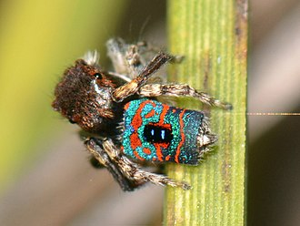 Spiders of Australia - Maratus mungaich by Jean Hort