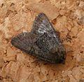 Marbled Minor agg ^ Oligia species - Flickr - gailhampshire.jpg