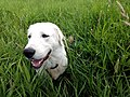 Maremma Sheepdog in a Field.jpg