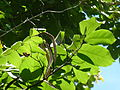 Markhamia obtusifolia, peule en loof, Manie van der Schijff BT.jpg