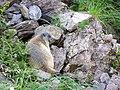 Marmotte curieuse - panoramio.jpg