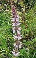 Marsh Woundwort^ Stachys palustris. - Flickr - gailhampshire.jpg