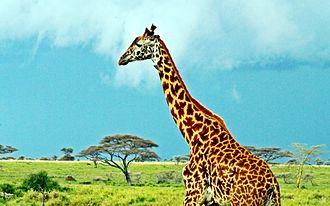 Masai giraffe - Image: Masai Giraffe, Serengeti National Park, Tanzania (2010)