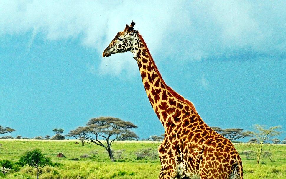 Masai Giraffe, Serengeti National Park, Tanzania (2010)