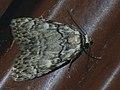 Meganola strigula - Small black arches - Карликовый шелкопряд дубовый (26264759337).jpg