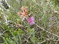 Melaleuca holosericea (leaves, flowers).JPG