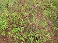 Melastoma malabathricum - കാട്ടുകദളി 03.JPG