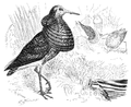 Menniskans härledning och könsurvalet illustration sida II-31.png