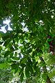 Metopium brownei.jpg