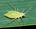 Metopolophium dirhodum (Rose grain aphid).jpg