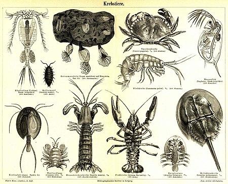Krebstiere – Biologie
