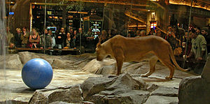 MGM Grand Las Vegas - The Lion Habitat in the MGM Grand