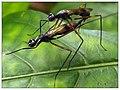 Micropezidae (15300798351).jpg