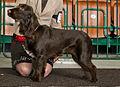 Miezynarodowa wystawa psow rasowych katowice 2012 4.jpg