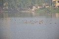 Migratory Birds - Santragachi Jheel - Howrah 2017-12-25 5619.JPG