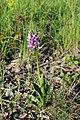 Military orchid - Orchis militaris - panoramio (17).jpg