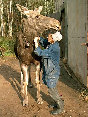 Moose milk - A milkmaid at the Kostroma Moose Farm in Kostroma Oblast, Russia prepares to milk a moose