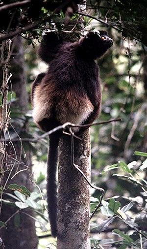 Milne-Edwards' sifaka - In Ranomafana National Park