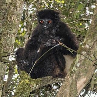 Milne-Edwardss sifaka Species of lemur