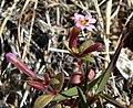Mimulus rubellus 3.jpg