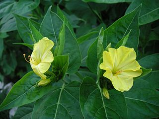 Nyctaginaceae family of plants