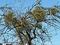 Mistletoe-apple-tree.jpg