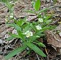 Moehringia macrophylla.jpg