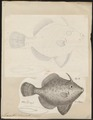 Monacanthus chinensis - 1700-1880 - Print - Iconographia Zoologica - Special Collections University of Amsterdam - UBA01 IZ15400137.tif