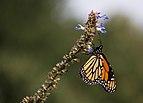 Monarch butterfly (70385).jpg