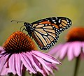 Monarch butterfly on purple coneflower (36030645730).jpg