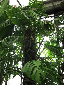 Monstera epipremnoides.jpg