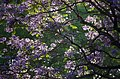 Morning backlit jacarandas.jpg