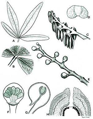 Caytoniales - Image: Morphology of Caytoniales