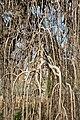 Morus alba Pendula Blumengärten Hirschstetten 2016-02-26 f.jpg
