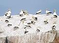 Morus serrator roost - Cheverton Rock.jpg