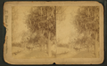 Moss covered tree, Palatka, Florida, from Robert N. Dennis collection of stereoscopic views.png